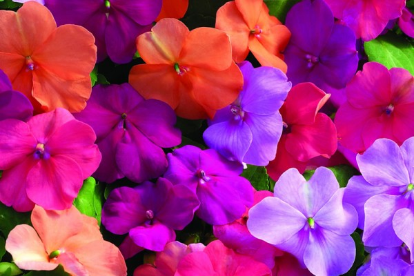 impatiens-flowers-10A8BA25F-1406-8533-AEF8-F5F255600519.jpg