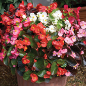 begonia-small