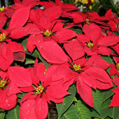 poinsettia-small